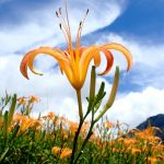 THE DAYLILIES OF LIUSHISHI SHAN